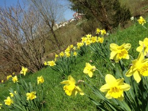 An enduring memory will certainly be all the daffodils that were coming up in the lawns.