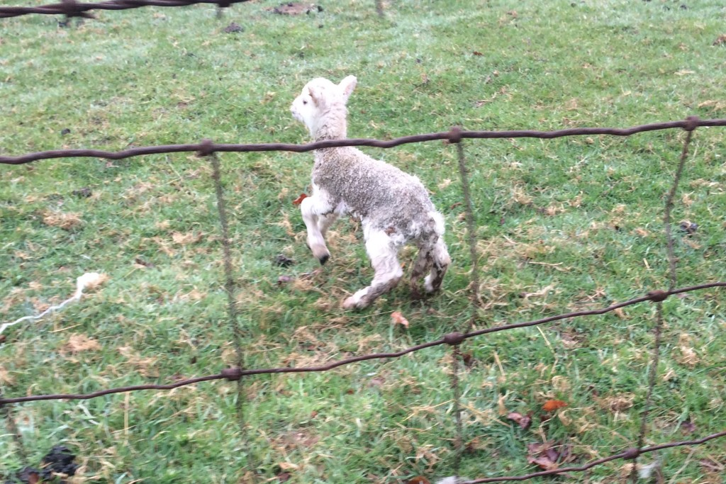 Lots of little lambs in the fields along the bike trail these days,