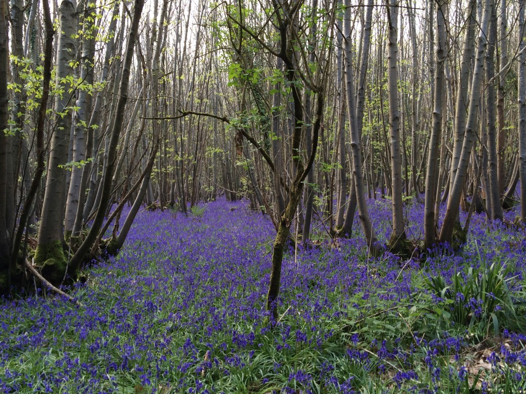 The bluebells seemed to go on forever!