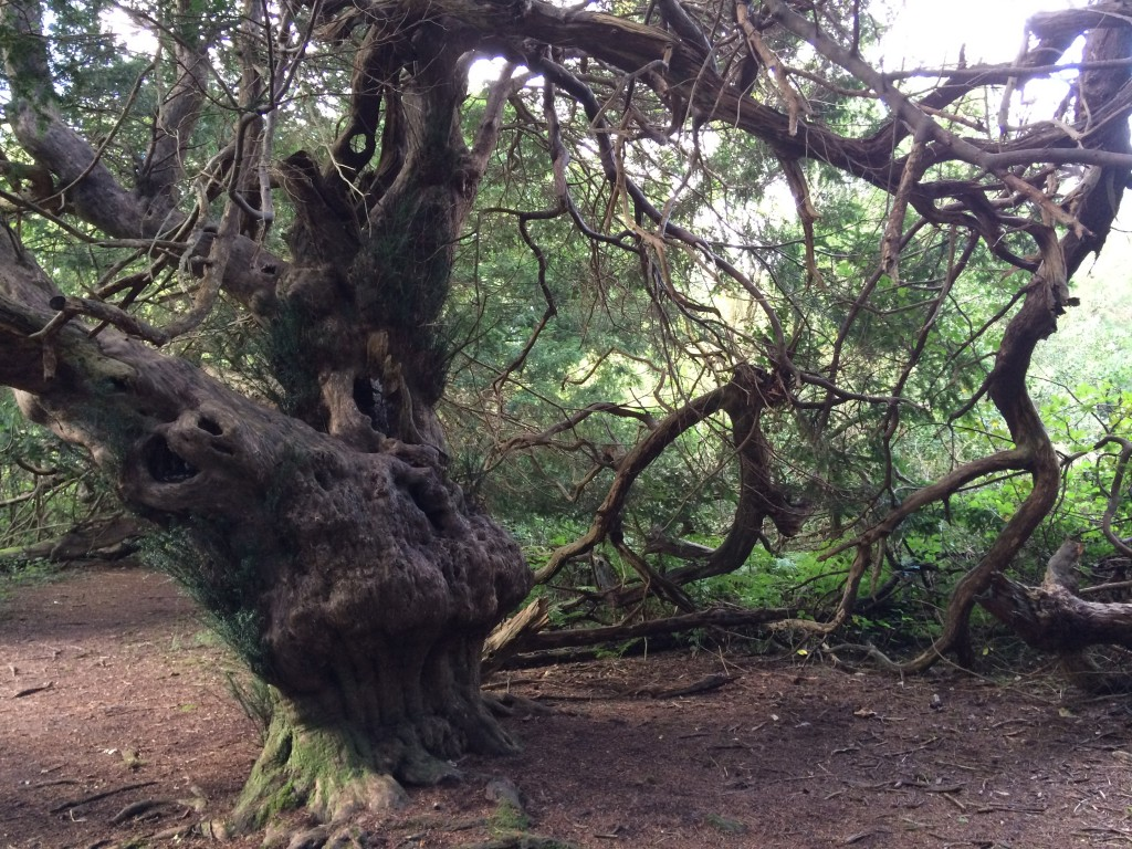 Old yew trees at Kingley Vale.